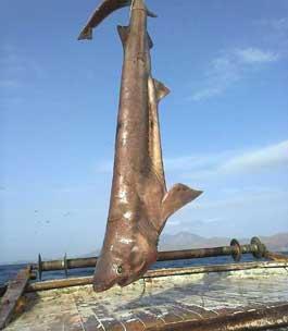 köpekbalığı34